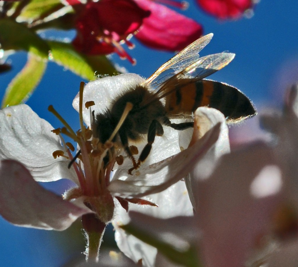 A honeybee pollinating a apple blossom.