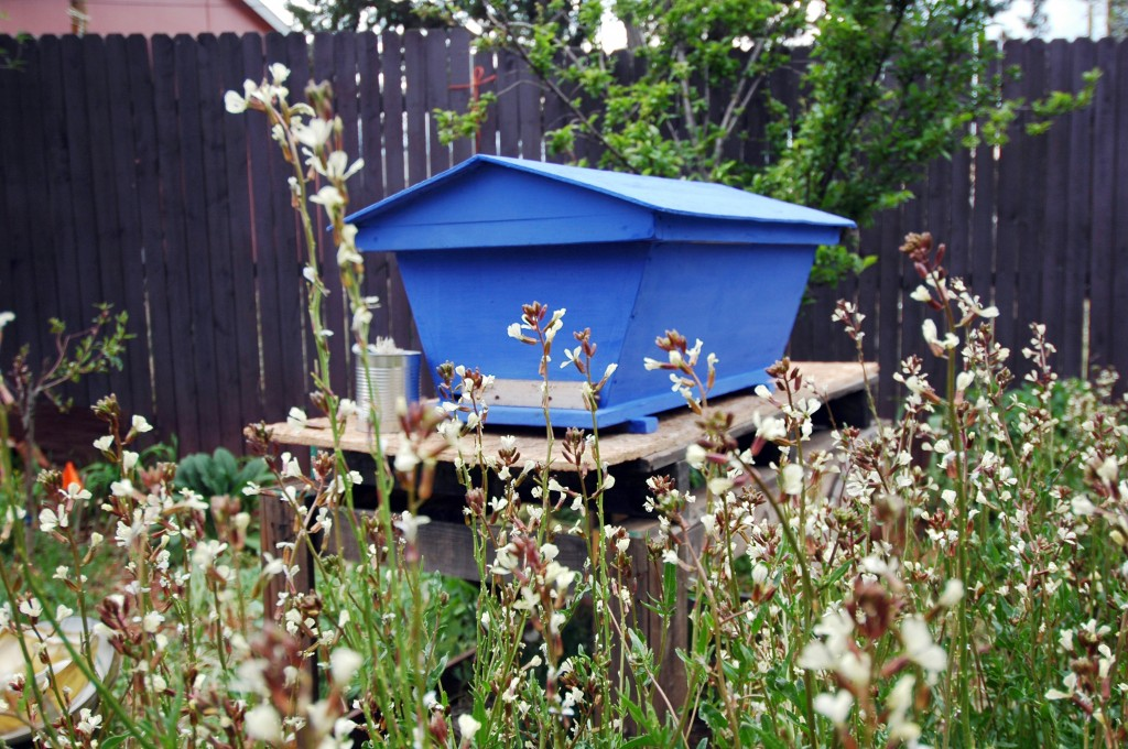 A Golden Mean top bar hive painted with milk paint, surrounded by arugula flowers, Spring 2012